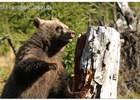 """Medvěd dostal """"po zimě"""" chuť na med"""