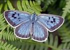 Záchrana motýla Modráska černoskvrnného v České republice