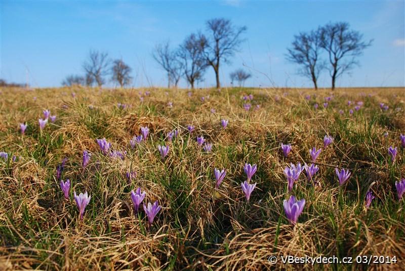 V Lačnově začal letos kvést vzácný šafrán bělokvětý velmi brzy